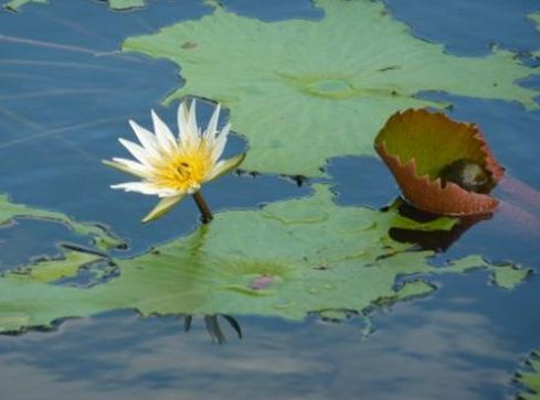 cenote-waterlilies